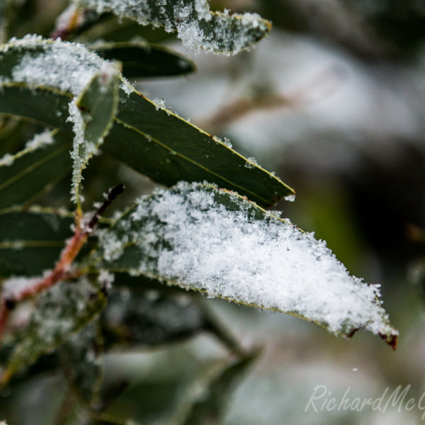 Snow on the gums, Brindabellas