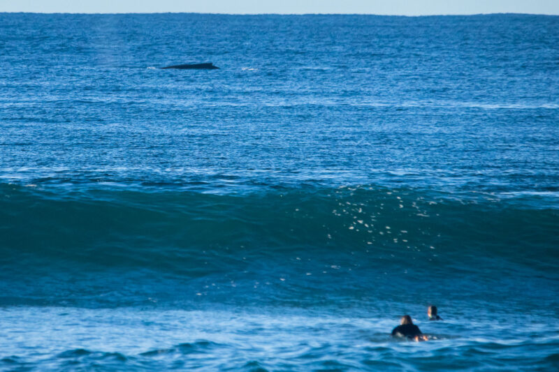 Whale and surfers